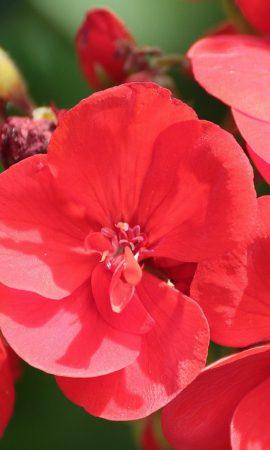 geranium-419453_1280