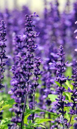 lavender-1507499_1280