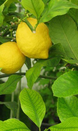 lemon-1094931_1280