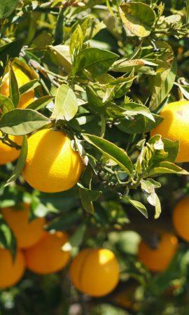 oranges-1117624_1280