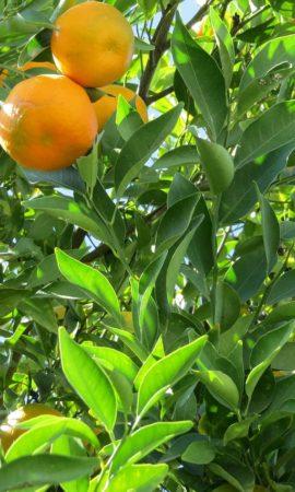 tangerine-509963_1280